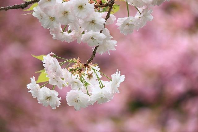 Sakura1_3
