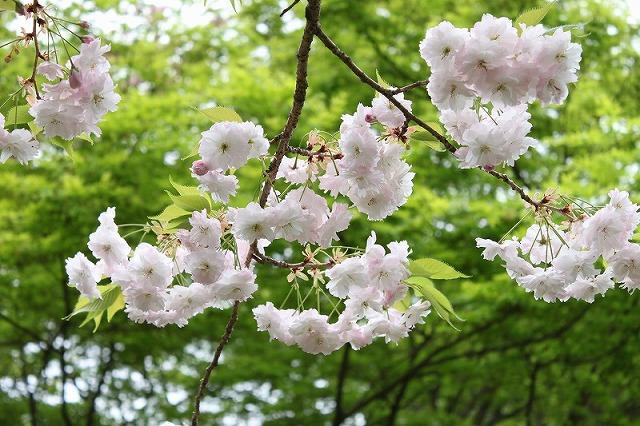 Sakura3_5
